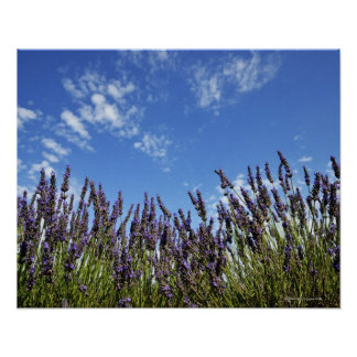 Lavender flowers in field on blue sky in summer, poster
