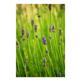 Lavender Flowers Posters