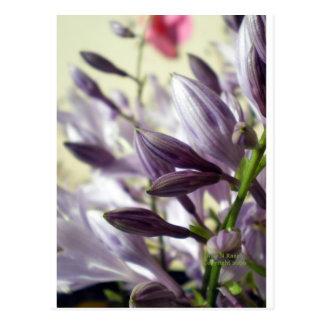 Lavender Hosta blooms Postcard
