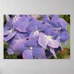 Lavender Hydrangea Macrophylla 'Enziandom' flowers Posters