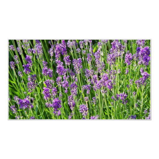 Lavender in the Grass Poster