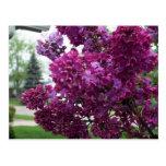 Lavender Lilacs Postcard
