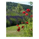 Lavender & Poppies Postcard