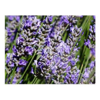 Lavender Post Cards