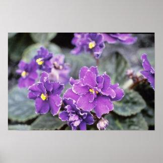 Lavender Saintpaulia 'Mr. Chips' (African Violet) Poster
