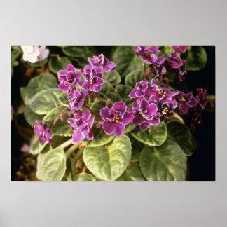 Lavender Saintpaulia 'Purple Choice' (African Viol Poster
