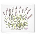 Lavender Sketch Print Photo Print