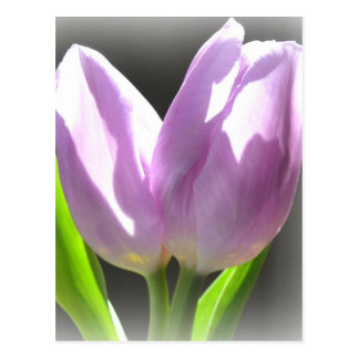Lavender Tulips Post Card