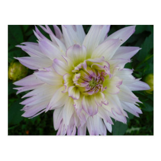 Lavender White Dahlia Postcard