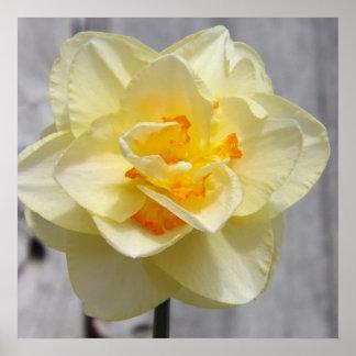 Layered Daffodil Poster