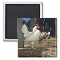 Layers (Hens And Roosters) Magnet