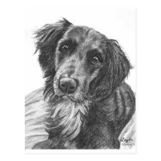 Layla the Border Collie Mix Charcoal Sketch Postcard