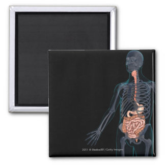 Layout of the human digestive system magnet