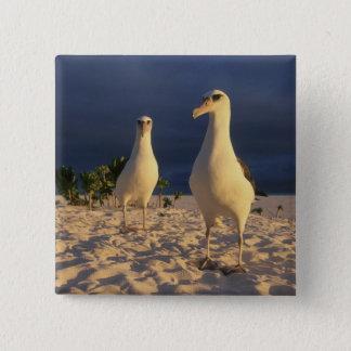 Laysan Albatross, Diomedea immutabilis), 2 Button