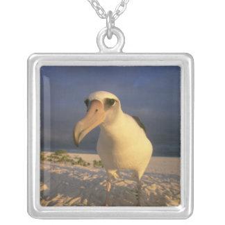 Laysan Albatross, Diomedea immutabilis), Jewelry