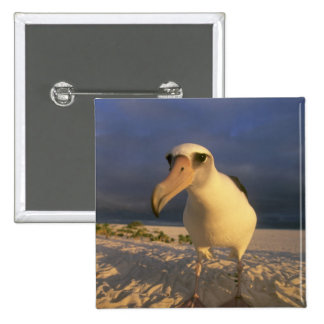 Laysan Albatross, Diomedea immutabilis), Pinback Button