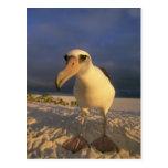 Laysan Albatross, Diomedea immutabilis), Post Card