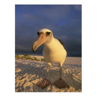 Laysan Albatross, Diomedea immutabilis), Postcard