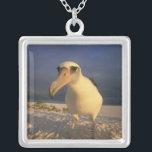 "Laysan Albatross, Diomedea immutabilis), Silver Plated Necklace<br><div class=""desc"">Laysan Albatross,  (Diomedea immutabilis),  sunset,  Midway Atoll,  NE Hawaiian Island,  USA � Kevin Schafer / DanitaDelimont.com</div>"