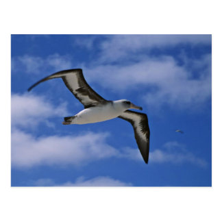 Laysan albatross flying in air postcard