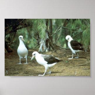 Laysan Albatross Poster