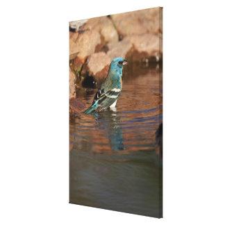 Lazuli Bunting (Passerina amoena) bathing in Canvas Print