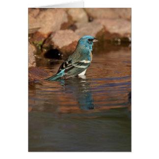 Lazuli Bunting (Passerina amoena) bathing in Card