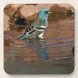Lazuli Bunting (Passerina amoena) bathing in Drink Coaster