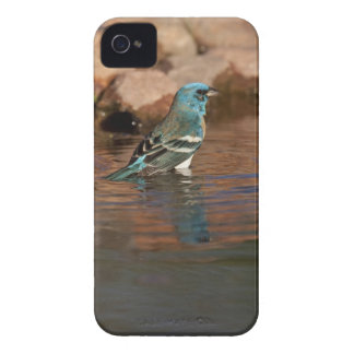 Lazuli Bunting (Passerina amoena) bathing in iPhone 4 Cover