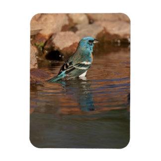 Lazuli Bunting (Passerina amoena) bathing in Magnet