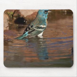 Lazuli Bunting (Passerina amoena) bathing in Mouse Pad