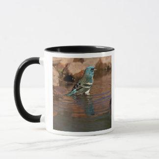 Lazuli Bunting (Passerina amoena) bathing in Mug