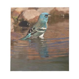 Lazuli Bunting (Passerina amoena) bathing in Notepad