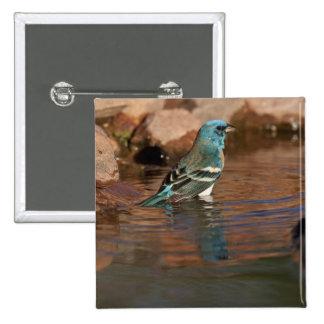Lazuli Bunting (Passerina amoena) bathing in Pinback Button