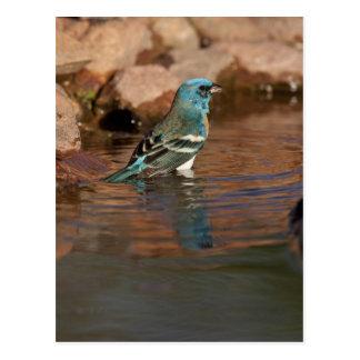 Lazuli Bunting (Passerina amoena) bathing in Postcard