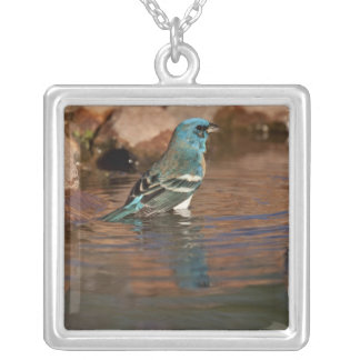 Lazuli Bunting (Passerina amoena) bathing in Silver Plated Necklace