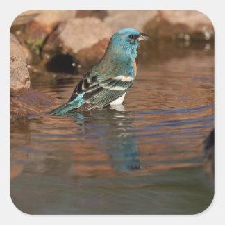 Lazuli Bunting (Passerina amoena) bathing in Square Sticker
