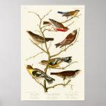 Lazuli Finch John James Audubon Birds of America Poster