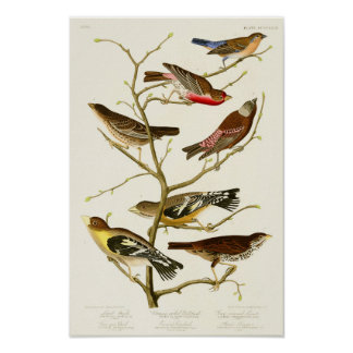 Lazuli Finch John James Audubon Birds of America Poster