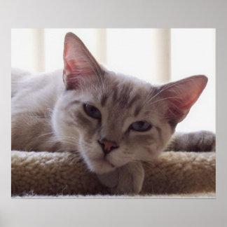 Lazy Kitten, Bengal Siamese Cat Photo 24x20 Poster