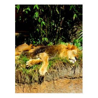 Lazy lion postcard