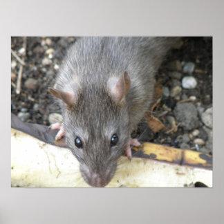 Le estoy mirando impresión de la rata póster