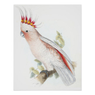 Leadbeater's Cockatoo by Edward Lear Poster
