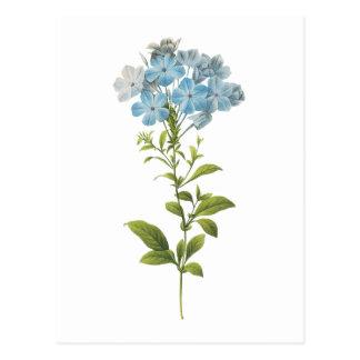 leadwort(Plumbago caerulea) by Redouté Post Cards