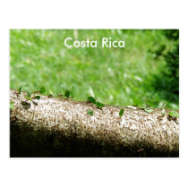 Leaf Cutter Ants in Costa Rica Postcard