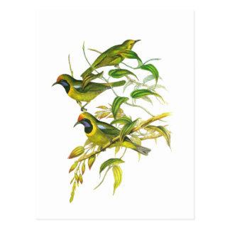 Leafbird De oro-afrontado Postales