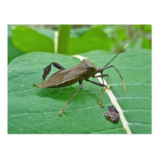 Leaffooted Bug (Acanthocephala fenorata) Items Postcard