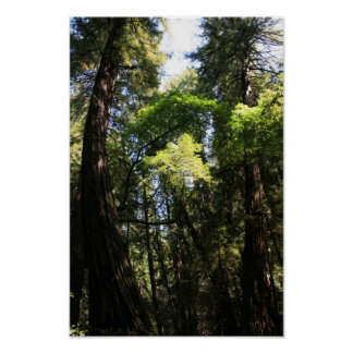 """""""Leaning Giants"""", Muir Woods Poster"""
