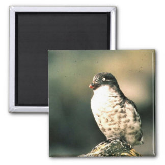 Least Auklet 2 Inch Square Magnet