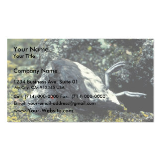 Least Auklet killed by a rat Double-Sided Standard Business Cards (Pack Of 100)
